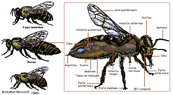 http://ecbaill.free.fr/dossiers/abeilles/abeille3.jpg